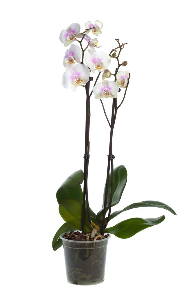 Orquídea Phalaenopsis Branca - Florisbella - Matriz Campinas