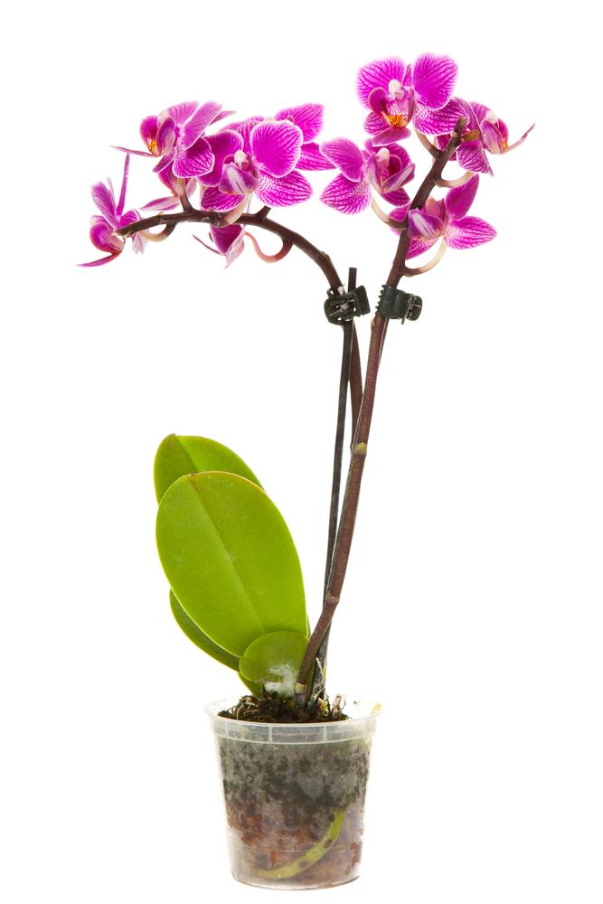 Orquídea Phalaenopsis Rosa - Florisbella - Matriz Campinas