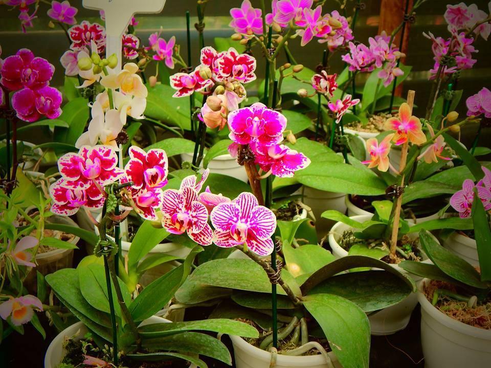 Mini Orquídea Phalaenopsis Rosa - Florisbella - Matriz Campinas