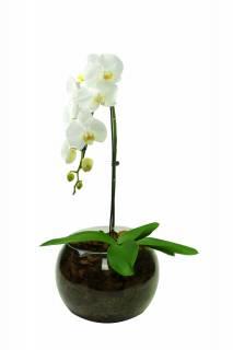Orquidea da Paz no Amor | Florisbella Floricultura