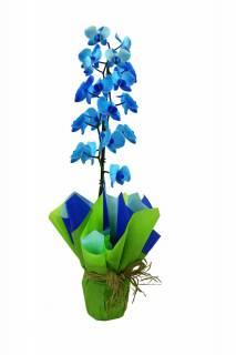 Orquídea Phalaenópsis Azul | Florisbella Floricultura