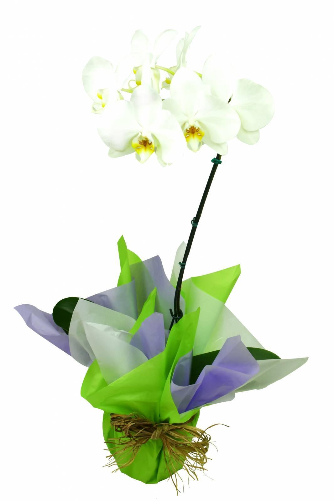 Orquídea Phalaenopsis - Florisbella - Matriz Campinas