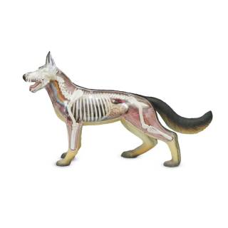 Modelo Anatômico Cão