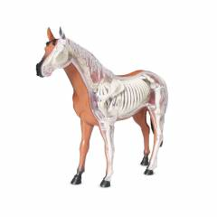 Modelo Anatômico Cavalo