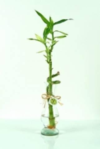 Lucky Bamboo - Floricultura Cambuí
