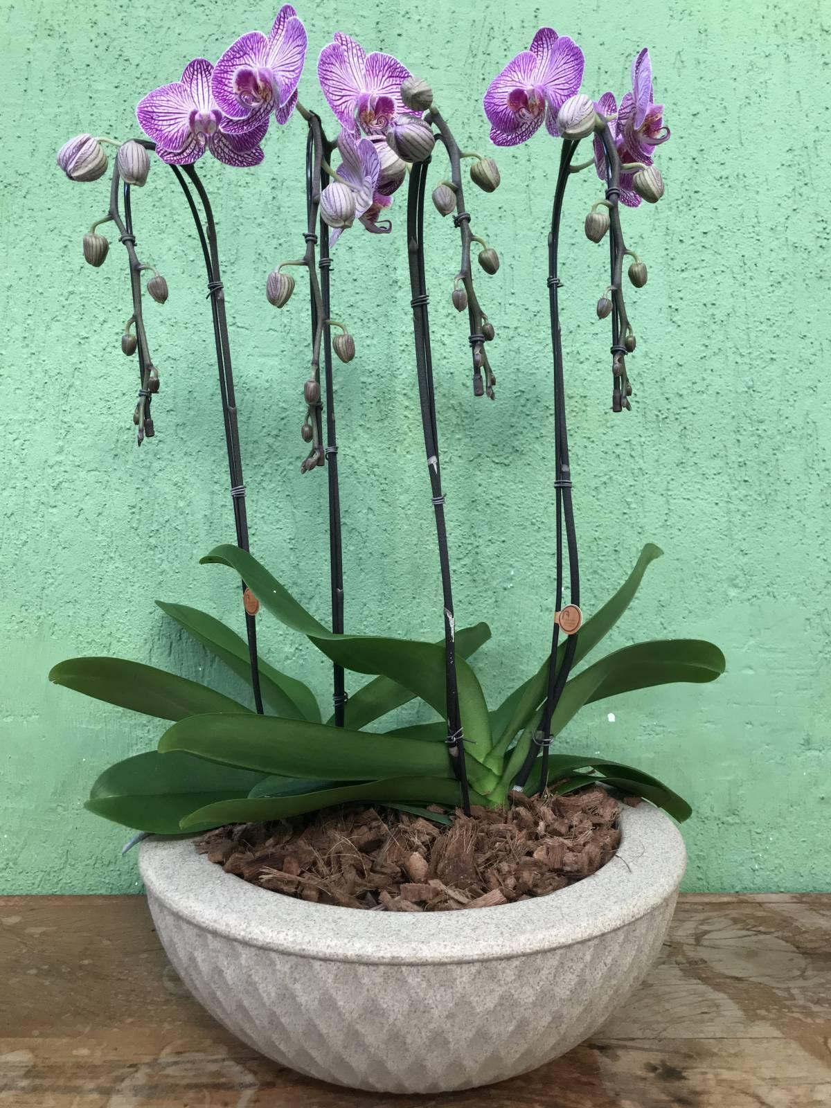 INFINITY ROSA ESTRIADO - Floricultura Cambuí