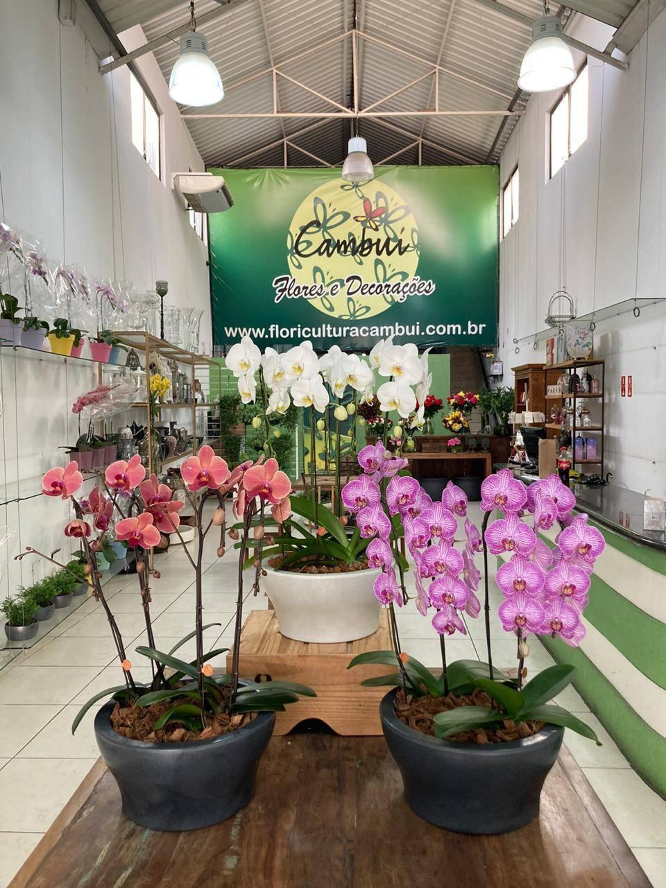 ORQUÍDEA CITRINO - Floricultura Cambuí